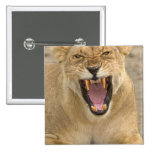 Lioness Snarl B, East Africa, Tanzania, 15 Cm Square Badge