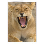 Lioness Snarl B, East Africa, Tanzania, Greeting Card