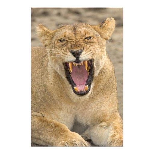 Lioness Snarl B, East Africa, Tanzania, Art Photo