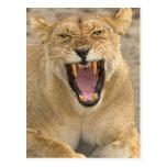Lioness Snarl B, East Africa, Tanzania, Postcard
