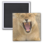 Lioness Snarl B, East Africa, Tanzania, Square Magnet