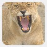 Lioness Snarl B, East Africa, Tanzania, Square Sticker