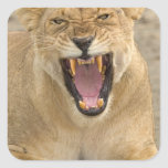 Lioness Snarl B, East Africa, Tanzania, Square Sticker