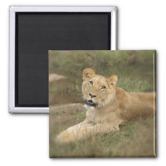 Lioness Square Magnet Magnets