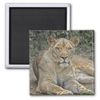 Lioness Square Magnet