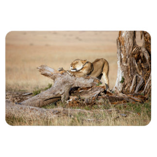 Lioness stretching rectangular photo magnet