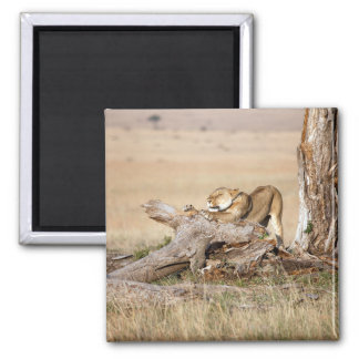 Lioness stretching 2 inch square magnet