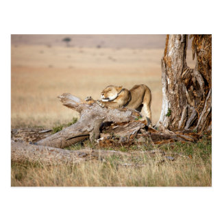 Lioness stretching postcard