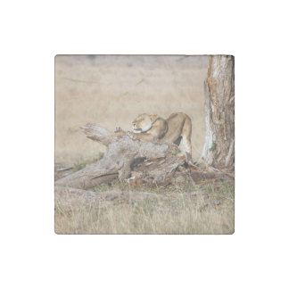 Lioness stretching stone magnet