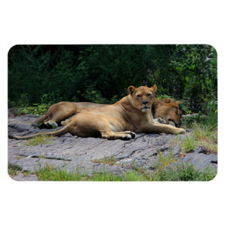 Lioness with Sleeping Lion Photo Rectangle Magnet