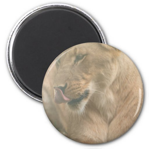 Lioness with Tongue Out Magnet Magnets