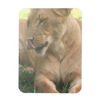 Lioness with Tongue Out Premium Magnet Flexible Magnet