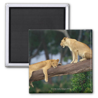 Lionesses in a tree refrigerator magnet