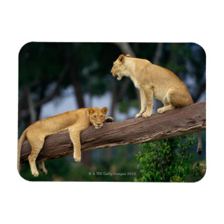 Lionesses in a tree rectangular photo magnet