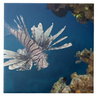 Lionfish (Pterois volitans) swimming over Tile