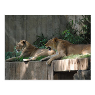 Lions at rest postcard