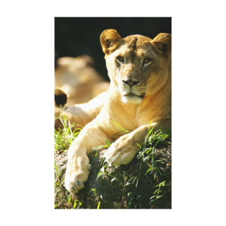 Lions Gallery Wrap Canvas