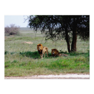 Lions in the Shade Photographic Print
