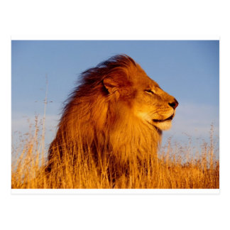 Lions in the Wild Tees, Cards and GIfts Postcard