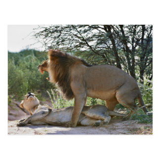 lions mating, Panthera leo, Kgalagadi Post Cards