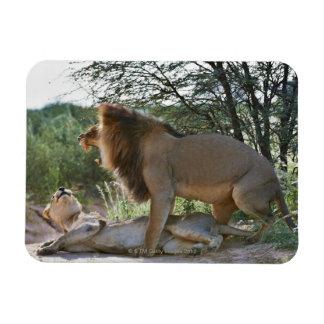 lions mating, Panthera leo, Kgalagadi Rectangular Photo Magnet