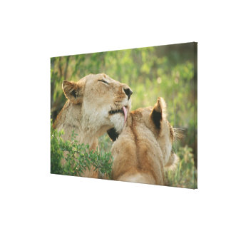 Lions, Panthera leo grooming, South Africa Canvas Prints
