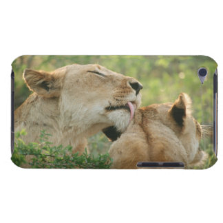 Lions, Panthera leo grooming, South Africa Case-Mate iPod Touch Case