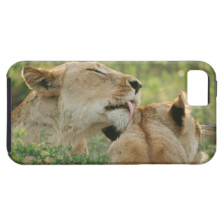 Lions, Panthera leo grooming, South Africa iPhone 5 Covers