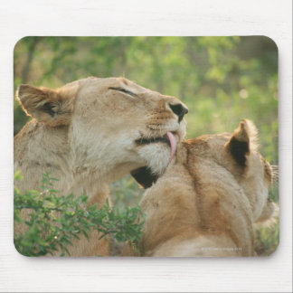 Lions, Panthera leo grooming, South Africa Mouse Pad