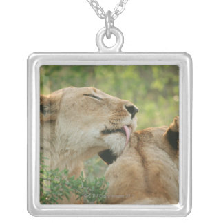 Lions, Panthera leo grooming, South Africa Silver Plated Necklace