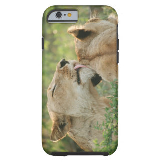 Lions, Panthera leo grooming, South Africa Tough iPhone 6 Case