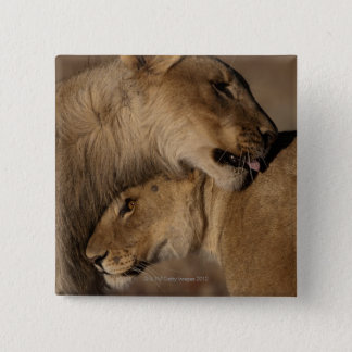 Lions (Panthera leo) pair bonding, Skeleton 15 Cm Square Badge