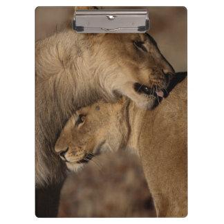 Lions (Panthera leo) pair bonding, Skeleton Clipboards