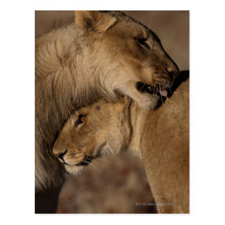 Lions (Panthera leo) pair bonding, Skeleton Postcards