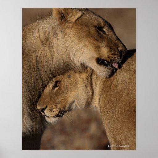 Lions (Panthera leo) pair bonding, Skeleton Print