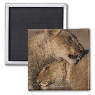 Lions (Panthera leo) pair bonding, Skeleton Square Magnet