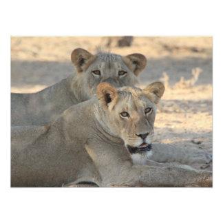 Lions Photo Art