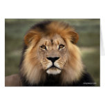 Lions Photograph Greeting Cards