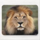 Lions Photograph Mouse Mat
