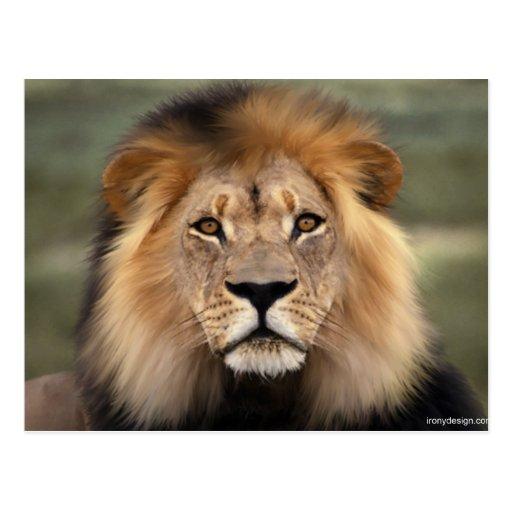 Lions Photograph Post Cards