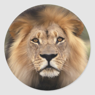 Lions Photograph Round Sticker