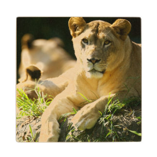 Lions Wood Coaster