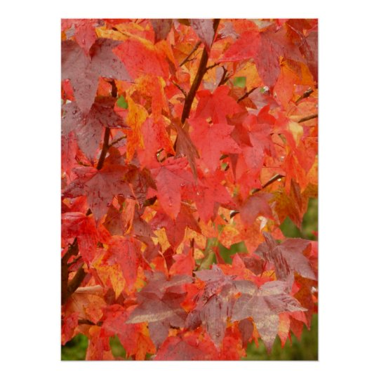 Liquidambar Leaves Poster
