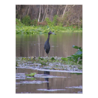 Little Blue Heron Posters