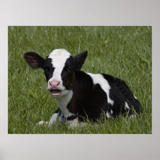 Little Calf Poster
