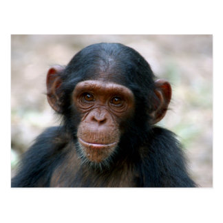 Little Chimp Postcard