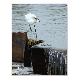 Little Egret with a fish for lunch Photo Print