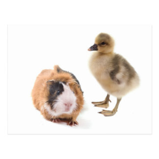 little goose and guinea pig post card