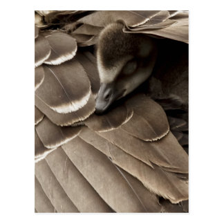 Little gosling all tucked in under mum s wing post cards