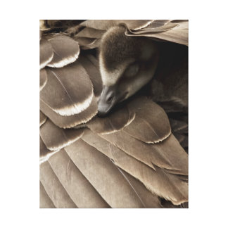 Little gosling all tucked in under mum's wing canvas print